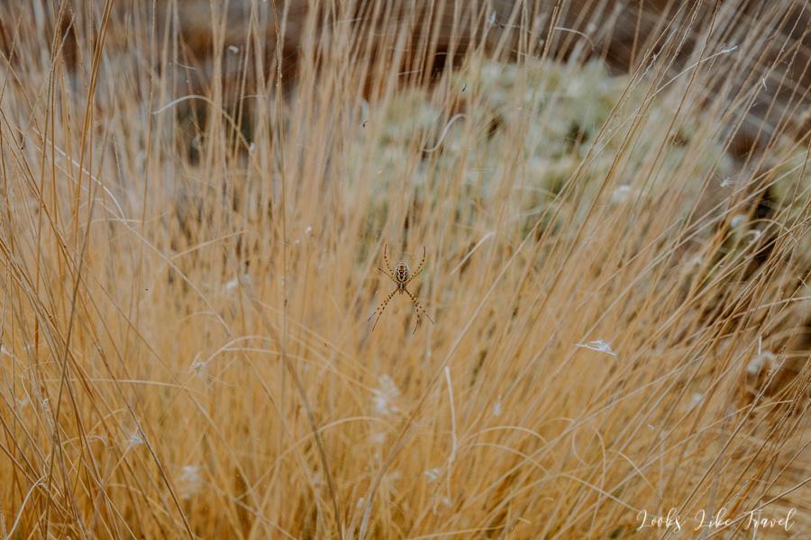 Gran Canaria spider