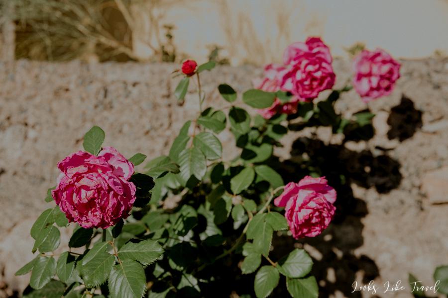 Róże na Gran Canarii