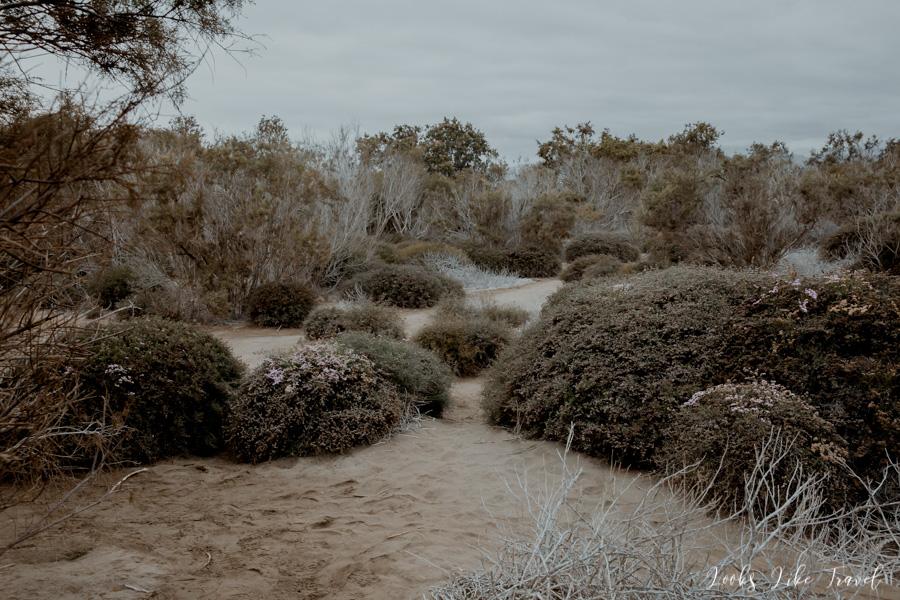 roślinność na wydmach Dunas de Maspalomas