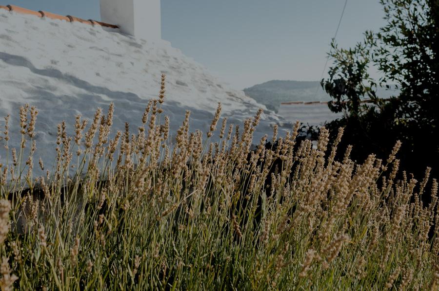 lawenda w Chorwacji, wyspa Brač