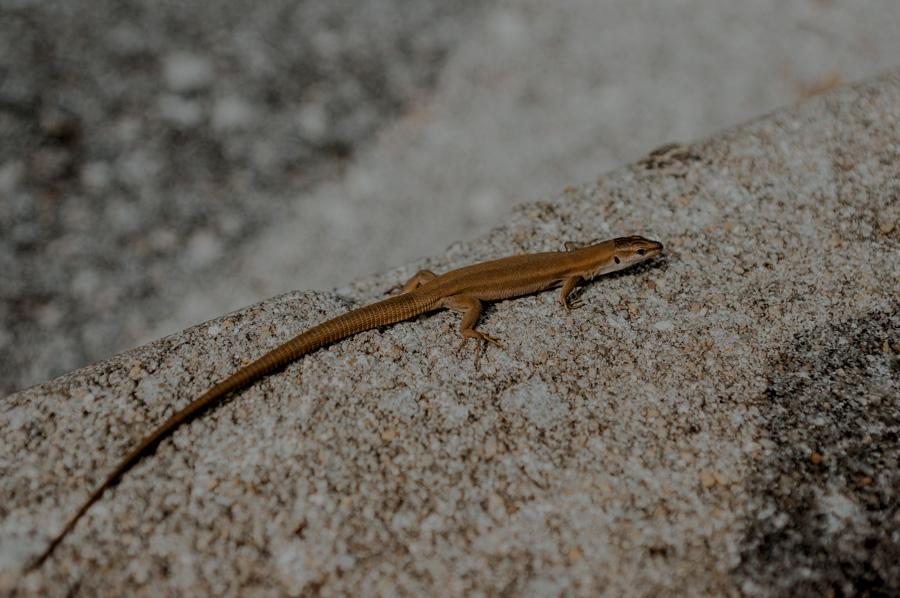 jaszczurki i węże w Chorwacji