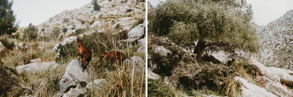 Mallorca, Sa Calobra, goats
