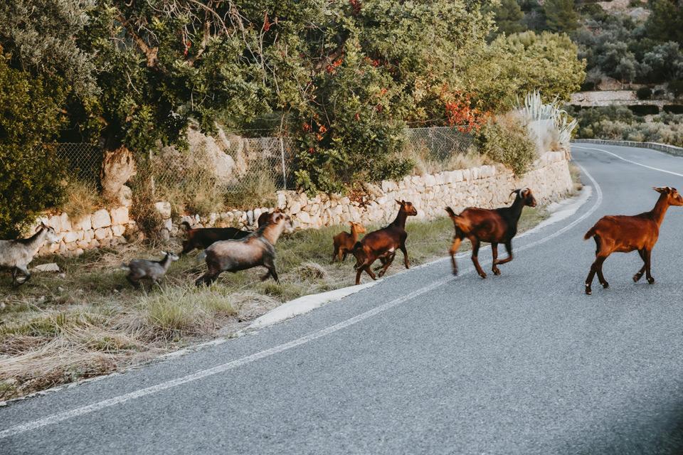 Mallorca, road to Torre del Verger, goats