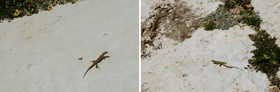 lizards on Gozo