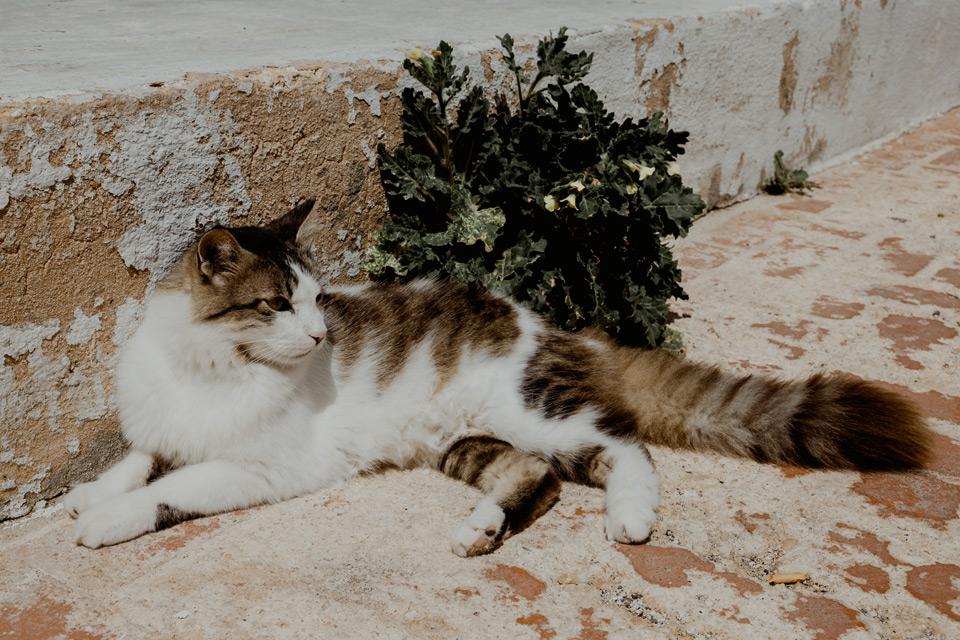 Gozo, cat