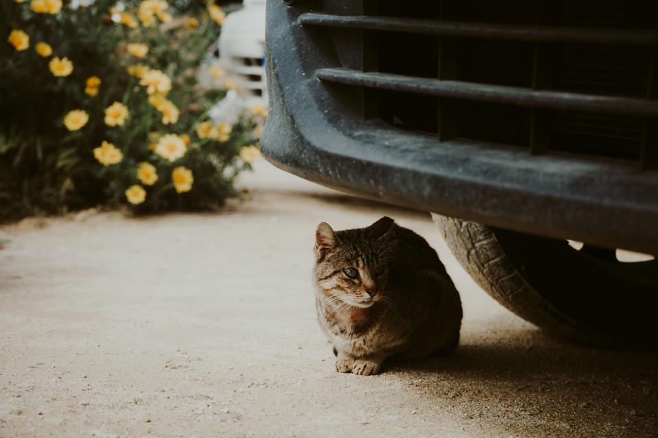 Gozo, Victoria, cat