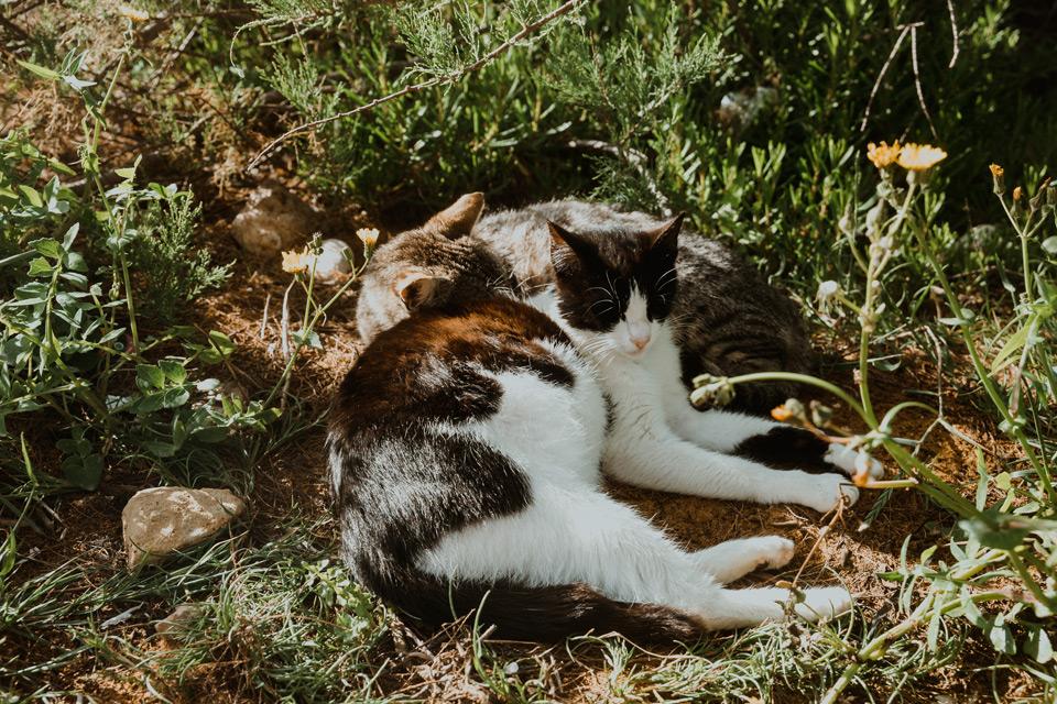 Gozo, cats on Ramla Bay