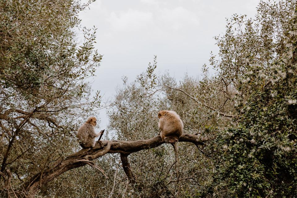 Gibraltar- monkeys